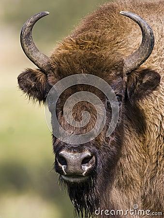 Free European Bison - (Bison Bonasus) Royalty Free Stock Image - 18831856