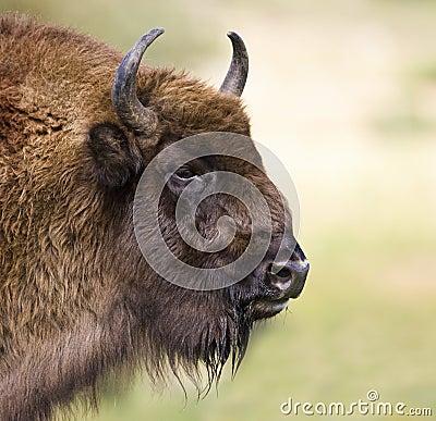 Free European Bison - (Bison Bonasus) Stock Image - 18835221