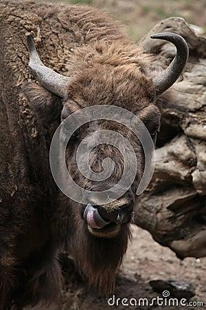 Free European Bison (Bison Bonasus). Stock Photo - 57939330