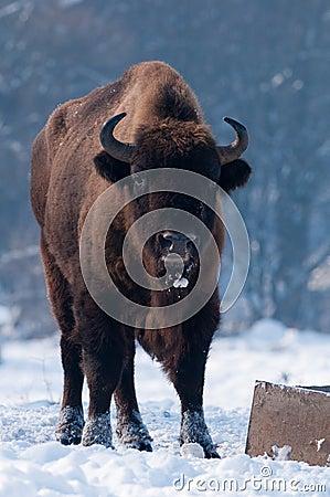 Free European Bison (Bison Bonasus), Male Royalty Free Stock Images - 13196169