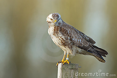 European buzzard