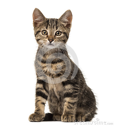 Free European Cat Sitting , Isolated Stock Photo - 89215180