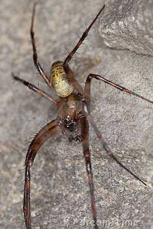 European cave spider (Meta menardi)