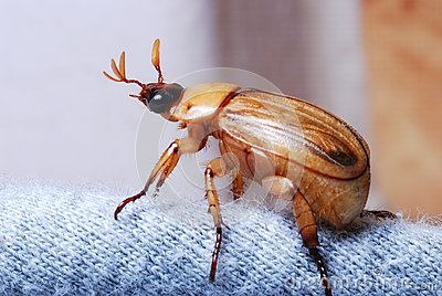 European Chafer June Bug
