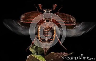The European chafer (Rhizotrogus majalis)