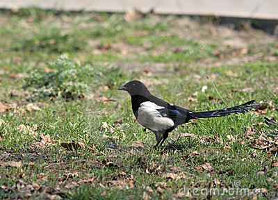 The European (Common) Magpie (Pica pica)