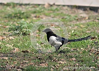 The European (Common) Magpie (Pica pica)