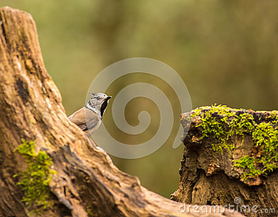 European Crested Tit on log