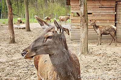 European deer in zoo