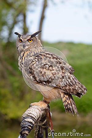 Free European Eagle Owl Royalty Free Stock Photo - 54836895