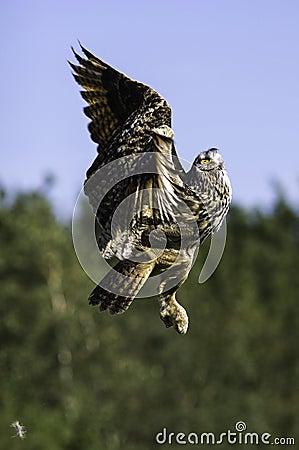 Free European Eagle Owl Ascending To Flight Stock Photography - 26670132