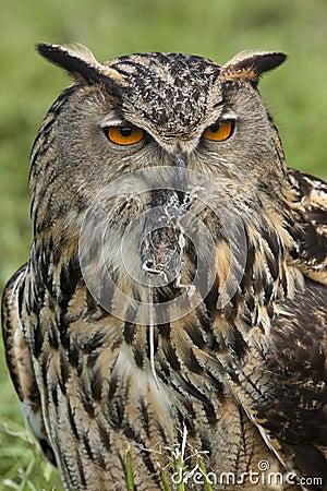 European Eagle Owl (Buba bubo)