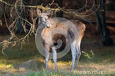 European elk