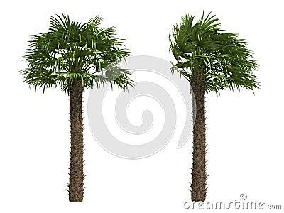 European Fan Palms
