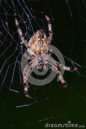 Free European Garden Spider Stock Photos - 23507343