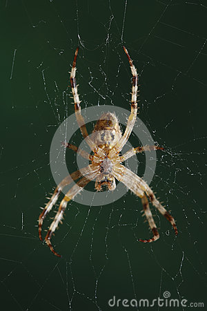The European garden spider