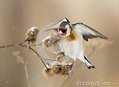 European Goldfinch flits over the burdock