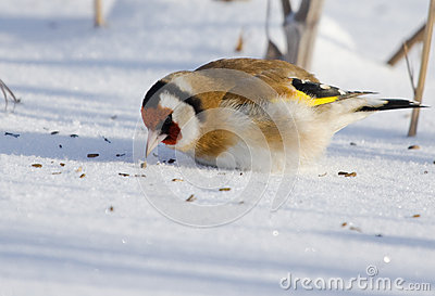 European Goldfinch on snow