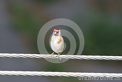 European Goldfinch on a wire
