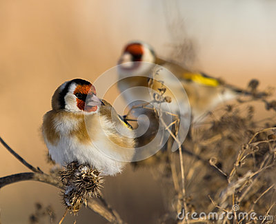 European Goldfinches on the burdock