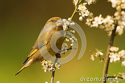 European Greenfinch close-up