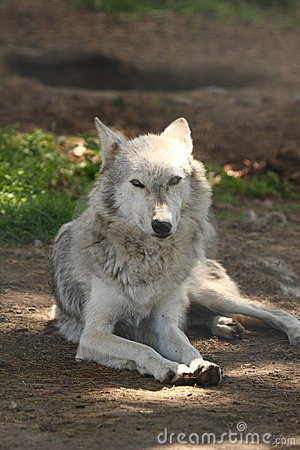 Free European Grey Wolf Royalty Free Stock Photo - 5928605