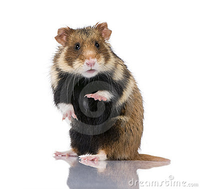 Free European Hamster Against White Background Stock Photos - 10939043