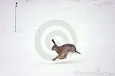 european hare running