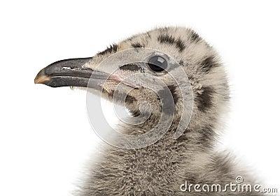 European Herring Gull chick, Larus argentatus