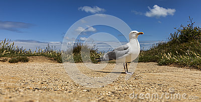 The European Herring Gull on the Etretat