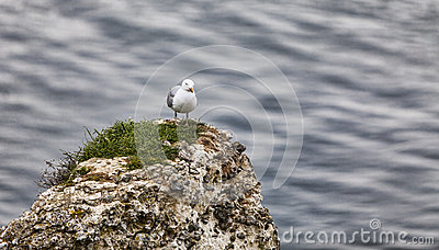 The European Herring Gull on the Etretat Cliffs