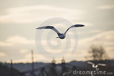 European herring gull flying into the sunset