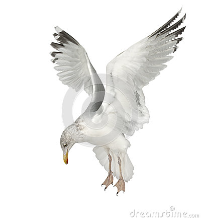 European Herring Gull, Larus argentatus