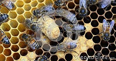 European Honey Bee, apis mellifera, Black Bees pracujÄ…cy nad RamÄ… Brood, Queen Cell, Bee Hive w Normandii, Real Time zbiory