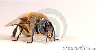 European Honey Bee, apis mellifera, mężczyzna, który liże kroplę miodu, Normandy, Real Time 4K zbiory