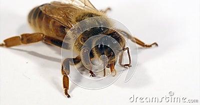 European Honey Bee, apis mellifera, Queen Liczy kroplę miodu na białym tle, Normandy, Real Time 4K zbiory