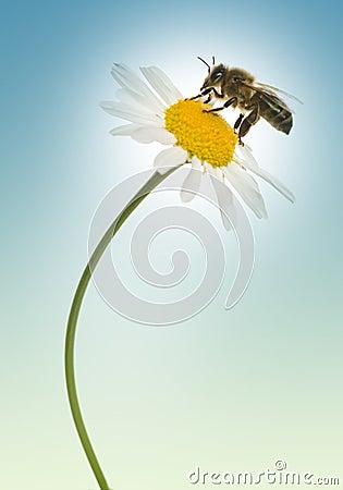 European honey bee gathering pollen on a daisy, Apis mellifera,