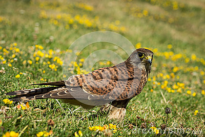 European Kestrel