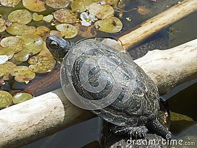 European land turtle