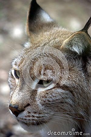 European Lynx 2