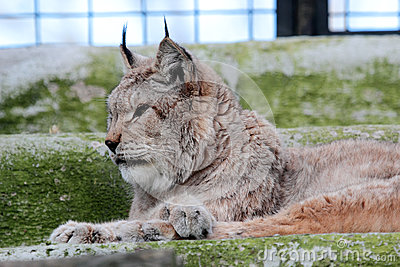 European lynx in the cage of a zoo