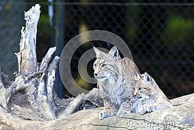 European Lynx with cub