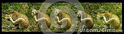 European lynx, serial shot