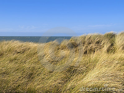 European Marram Grass or Beach-grass on a dune
