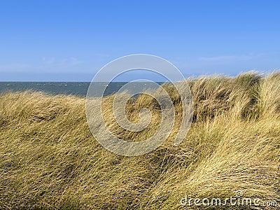 European Marram Grass or Beach-grass on a dune