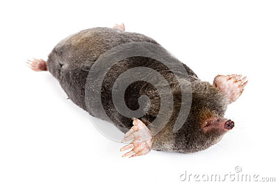 The European mole