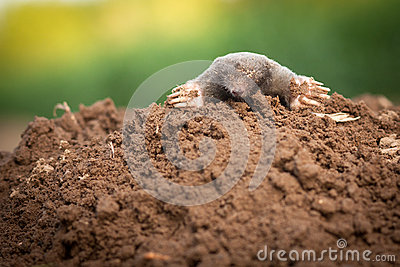 The European mole