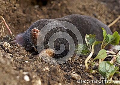 The European mole (Talpa europaea)
