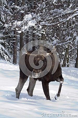 European moose (elk) in the snow