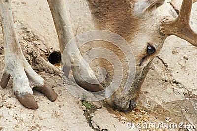 The European noble deer